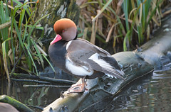 Red Crested Pochard (Lanius Excubitor) Tags: red crested pochard log water pond reed grass