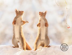 red squirrels standing in snow looking up (Geert Weggen) Tags: humor mothersday squirrel holidayevent adult animal backlit birthday birthdaypresent bright care celebration closeup cute flower gift greeting greetingcard heartshape horizontal letterdocument looking loveemotion mammal nature partysocialevent photography red rodent smiling sun sweden wallpaperdecor christmastree snow winter present star reach icicle northpole magic openmouth together two pair bispgården jämtland geert weggen hardeko ragunda
