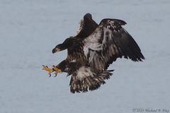 IMG_0584-1_final (Michael Pike) Tags: bald eagle the dalles dam oregon canon 77d sigma 50500