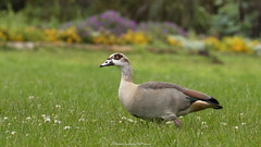 Egyptian goose (Alopochen aegyptiaca) (Hernan Linetzky Mc-Manus) Tags: capetown southafrica wild linetzky ciudaddelcabo
