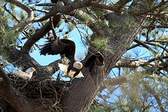Eagle taking flight from its nest (adirondack_native) Tags: eagle flying nest pair bald