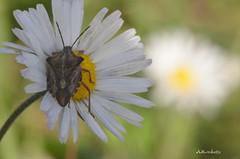 ... Carpocoris mediterraneus mediterraneus (Plebejus argus) Tags: carpocorismediterraneus pentatomidae insetti nikon7000 sigma150macro montilepini lazio hemiptera