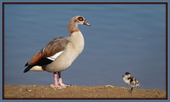 One day you will be as big as me (maryimackins) Tags: goose egyptian chick wildlife kent mary mackins