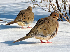 Is there a mirror here? Or is that my twin? (Meryl Raddatz) Tags: bird mourningdove nature naturephotography canada snow dove