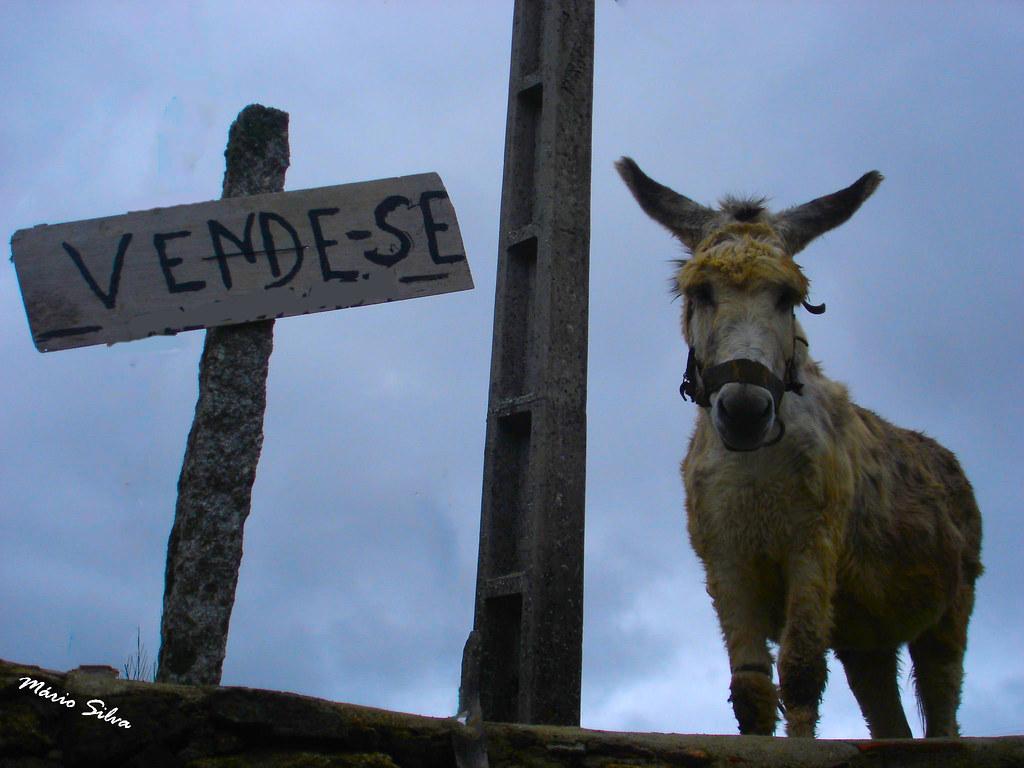 """Águas Frias (Chaves) - ... """"vende-se"""" e o burro ..."""
