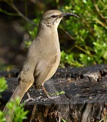 California Thrasher (aviac) Tags: birds bird californiabirds california morrobay morrobaystatepark stateparkmarina marina sanluisobispocounty nature sanluisobispobirds morrobayestuary estuary