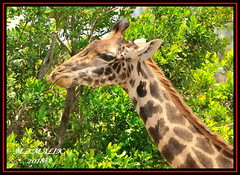 MASAI GIRAFFE (Giraffa camelopardalis tippelskirchii)....MASAI MARA.....SEPT 2018. (M Z Malik) Tags: nikon d3x 200400mm14afs kenya africa safari wildlife masaimara keekoroklodge exoticafricanwildlife