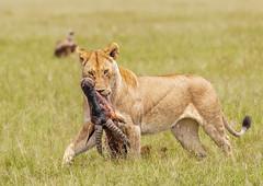 Lioness with topi (Photobirder) Tags: lionesswithtopi eastafrica kenya