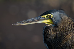 Beak of the Bare Throated Tiger Heron (Osprey-Ian) Tags: costarica tarcolriver barethroatedtigerheron