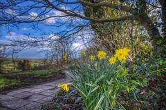 10/52 - Jocund company (katatomicuk) Tags: daffodil spring countryside staffordshire