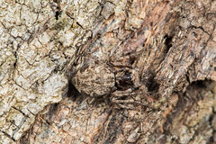 Lynx Spider (jgruber111) Tags: oxyopidae arachnida macro entomology spider lynxspider