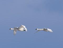 Swans 2019-2