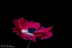 Anémone 13 (letexierpatrick) Tags: anémone fleur flower flowers fleurs floraison botanique bouquet nature coeurdefleurs couleur couleurs colors explore europe france rose rouge nikon nikond7000 proxiphotographie plante
