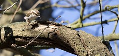 Tree Creeper (Shannon Wilde 9322) Tags: treecreeper tree creeper bird birdlife birdwatch birdphotography nature naturephotography wildlife wildlifephotograohy sigma canon
