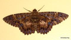 Noctuid moth, Letis scops (Ecuador Megadiverso) Tags: andreaskay calpinae ecuador erebidae flickr moth noctuidmoth noctuidae owletmoth letisscops