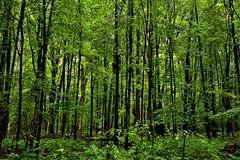 My Beloved Forest That I'm Blessed to Walk Amongst (Cuyahoga Valley National Park) (thor_mark ) Tags: azimuth310 capturenx2edited colorefexpro cuyahogavalleynationalpark day7 landscape lookingnw lowerpeninsulaheartland midwestgreatlakesarea nature nikond800e northamericaplains oakhilltrail ohiowabasheriearea outside portfolio project365 travel trees triptogatewaymammothcuyahoganationalparks ohio unitedstates