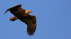 Morning Light (Bill G Moore) Tags: naturephotography birdofprey baldeagle raptor wild wildlife canon nature wisconsin sky blue inflight