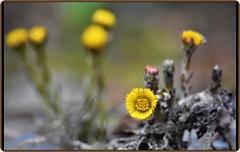 20 March 2019 - Spring Equinox (Ioan BACIVAROV Photography) Tags: flowers spring flower nature natura bokeh