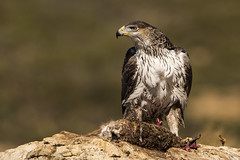 Bonelli's Eagle (Bill Richmond) Tags: bonelliseagle aquillafasciata female accipitriformes accipitridae raptors birdsofprey spain nikond810 nikon500f4