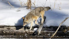 The Sure Footed One (Glatz Nature Photography) Tags: glatznaturephotography nature northamerica usnationalparks wildanimal wildlife winter yellowstonenationalpark coyote canislatrans madisonriver snow hunt