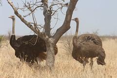 Ostrich (Rckr88) Tags: krugernationalpark southafrica kruger national park south africa ostrich ostriches birds bird landbirds animals animal naturalworld nature outdoors wildlife