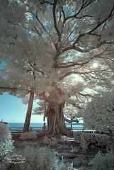 Magic (Geno G.) Tags: infrarrojo infrarrouse tree magic infrared cadiz nikond60 travel falsocolor infrarrojas filter720nm hoya arbol espectroinvisible park