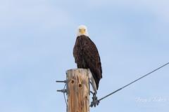 March 3, 2019 - A bald eagle with attitude. (Tony's Takes)