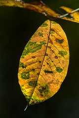 Backlit leaf (pbertner) Tags: leaf backlighting rainforest rainforestexpeditions amazon southamerica peru perunature landscape trc tambopata tambopataresearchcentre