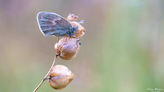 Hooibeestje - Small heath - Coenonympha pamphilus (Wim Boon Fotografie) Tags: wimboon macro vlinder holland nederland netherlands natuur nature hooibeestje canoneos5dmarkiii canon100mmf28lismacro macrofotografie maco