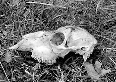 deer skull (Jackal1) Tags: deerskull bones blackwhite monotone monochrome bw skull nature