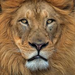 Close Up Magic (Robert Streithorst) Tags: lion john cincinnati zoo zoosofnorthamerica fur robert streithorst lumix 100400