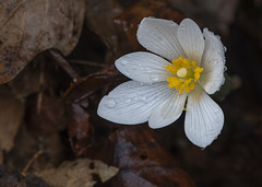 Bloodroot (Bernie Kasper (5 million views)) Tags: art berniekasper bloodroot cliftyfallsstatepark color cliftyfalls colour d750 family flower floral flowers fun hiking indiana indianawildflowers jeffersoncounty light landscape leaf leaves love madisonindiana macro nature nikon naturephotography new outdoors outdoor old outside photography plant park plants photos photo raw sigma spring statepark travel trail unitedstates usa wildflower wildflowers white yellow nikkor home national design
