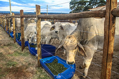 Alf 0007 - 1365 (Alf Ribeiro) Tags: agribusiness agriculture animal brazil brazilian mato nelore rural southeast work america beef bovine bull cattle confinement countryside cow domestic domesticated environment farm farming farmland field food grosso herd land livestock mammal meadow natural nature outdoor pasture plastic production quadruped raising ranch ruminant south steer white young
