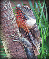 Frilled Lizard (Mary Faith.) Tags: frilled lizard reptile 14 his this is impressive stunning image