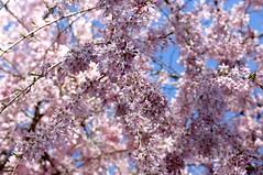 091:365-April 1-Cherry Blossom Time (karendunne337) Tags:
