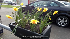 Daffodils flowering in Mayfield Road shops carpark  20th March 2019 002 (D@viD_2.011) Tags: daffodils flowering mayfield road shops carpark 20th march 2019