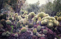 In the cactus garden at the Huntington Library (Randy Durrum) Tags: huntington library cactus cacti los angeles la california garden durrum samsungms9 s9 plus pasadena