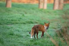 Early morning foxy (Susanne Leyh) Tags: fox redfox vulpes vulpesvulpes fuchs rotfuchs mammal animal wildlife nature outside outdoors natur naturephotography nikon nikkor 300mm fauna renard renardroux