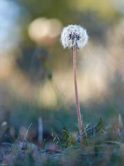 Dandelion161 (Toni Lluch) Tags: olympusomdem5ii mzuiko60mmmacro macro flower dandelion