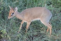 Kirk's dikdik (Mark Vukovich) Tags: kirks dikdik antelope mammal tanzania africa