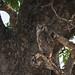 Milchuhu / Verreaux's eagle-owl