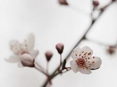 _JB14236 Kirschblüten (jobocar10) Tags: blossom kirschblüte
