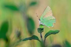 Callophrys rubi (jotneb) Tags: natureza animais insectos vidaselvagem borboletas lycaenidae