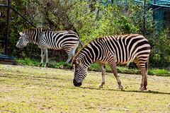 Plains zebras (pastough) Tags: nashvillezoo equusquagga nashville plainszebra tennessee march2019