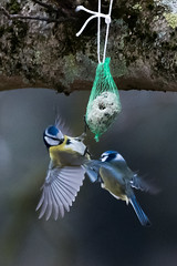territorial fight (crosslens) Tags: birds bluetit nun tomtit cyanistescaeruleus