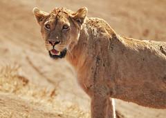 Mara (Susan Walker QP) Tags: lion animal massai mara kenya africa