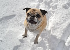 Happy Birthday Miss Bailey Puggins! (DaPuglet) Tags: pug pugs dog dogs animal animals pet pets snow winter fun jumping happybirthday birthday happy smiling hop outdoor ontario funny cute lol celebration leap coth5