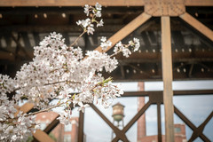 Spring in Richmond (cpjRVA) Tags: richmond virginia spring leicaq cherryblossom