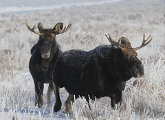 Young Bull Moose On A Cold, Frosty Morning (fethers1) Tags: jacksonholewyoming wyoming wyomingwildlife winter snow moose bullmoose