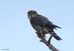 Merlin (Lois McNaught) Tags: merlin raptor bird avian nature wildlife hamilton ontario canada